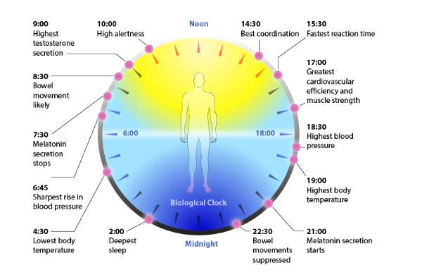 What is your circadian clock